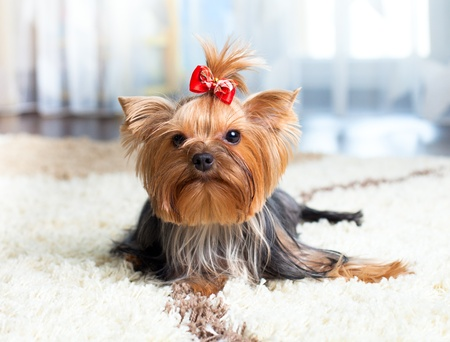 puppy yorkshire terrier indoor