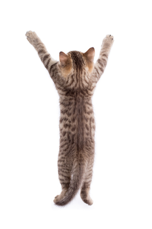 Photo pour rear view of funny tabby-cat kitten standing on legs isolated - image libre de droit