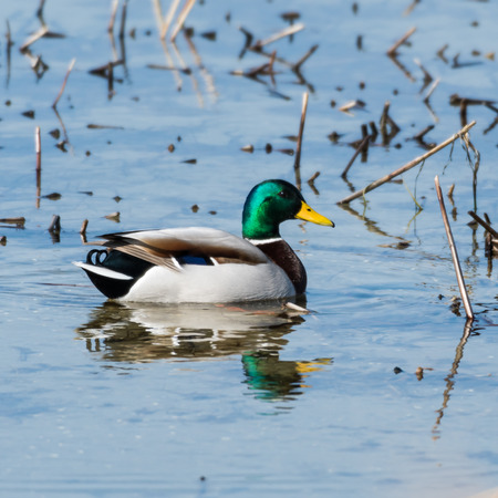 Photo for Beautilful male Mallard, Anas Platyrhynchos, swimming in a natural habitat - Royalty Free Image