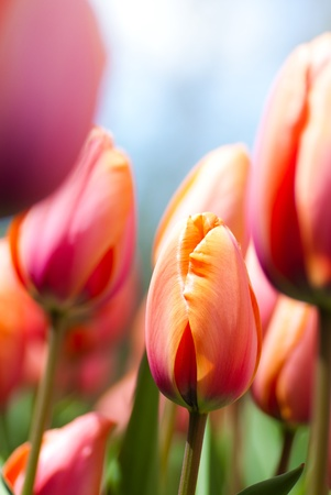 Photo for tulips closeup - Royalty Free Image