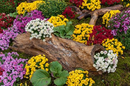 Photo pour Autumn compositions are made of chrysanthemum, Autumn Chrysanthemum Exhibition in Kiev - image libre de droit