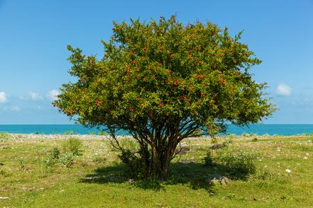 Photo pour bush with red flowers of pomegranate near the blue sea, bush and flowers of pomegranate - image libre de droit