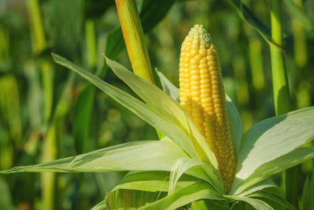 Foto de Ear of corn in a corn field in summer before harvest. - Imagen libre de derechos