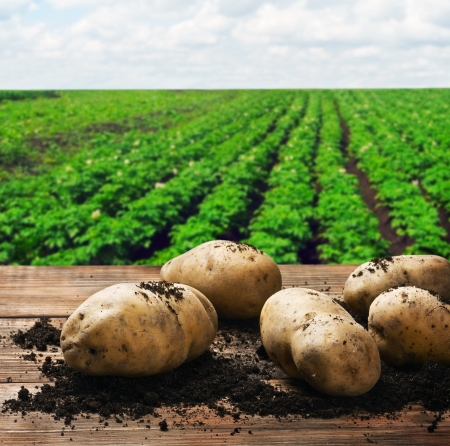 Photo for harvesting potatoes on the ground on a background of field - Royalty Free Image