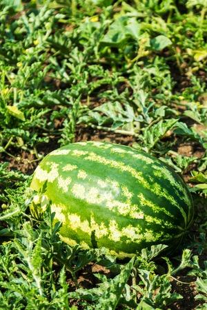 Foto für harvest of ripe watermelons on the melon on a summer day - Lizenzfreies Bild