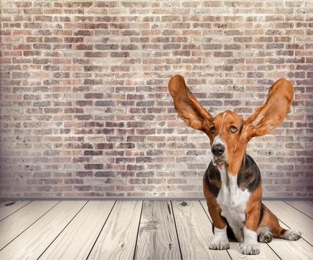 Photo pour Dog, Listening, Animal Ear. - image libre de droit