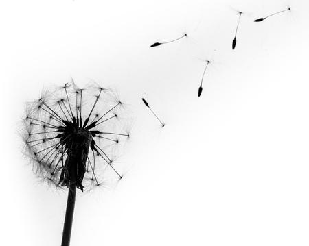 Foto de Dandelion. - Imagen libre de derechos