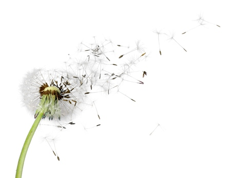 Photo for Dandelion. - Royalty Free Image