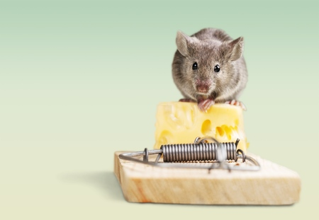Photo pour Mouse eating cheese of the trap. - image libre de droit