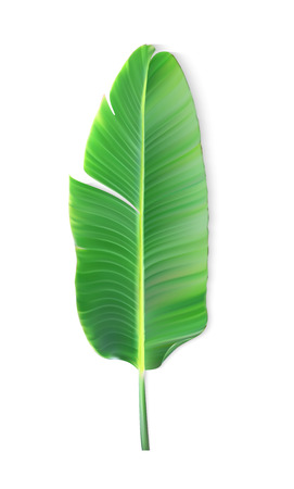 Illustration for Naturalistic colorful leaf of banana palm. Vector Illustration. - Royalty Free Image