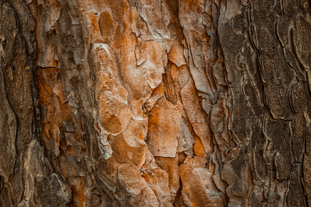 Foto de mysterious pine texture with orange wood and dark bark fantastic background for design - Imagen libre de derechos