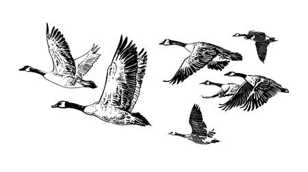 Ilustración de Flock of flying wild geese. Hand drawn vector illustration isolated on white background. Hunting club design. Tattoo. - Imagen libre de derechos