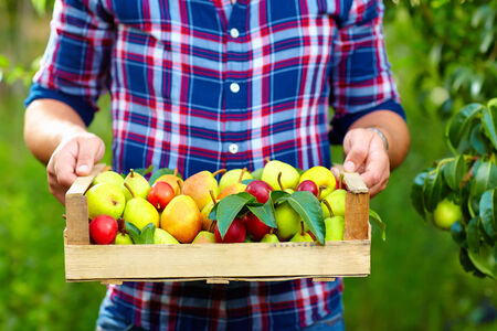 gardener holding a crate of summer fruit, ripe pears and plums