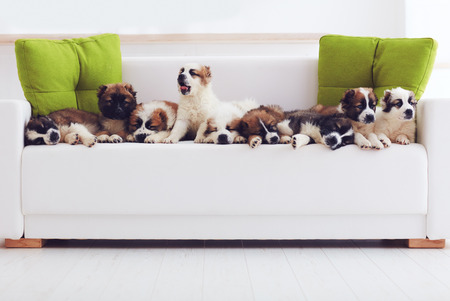 Photo pour portrait of nine cutest caucasian shepherd puppies lying in row on sofa at home - image libre de droit