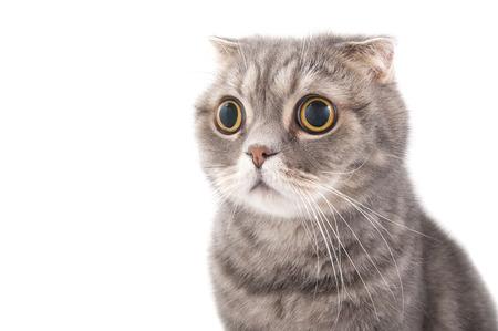 Foto de Portrait of a surprised cat breed Scottish Fold. Studio photography on a white background. - Imagen libre de derechos