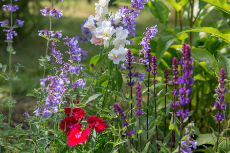 Photo pour Background or Texture of Salvia nemorosa Caradonna Balkan Clary , Nepeta fassenii Six Hills Giant, snapdragon, carnation in a Country Cottage Garden in a romantic rustic style. - image libre de droit