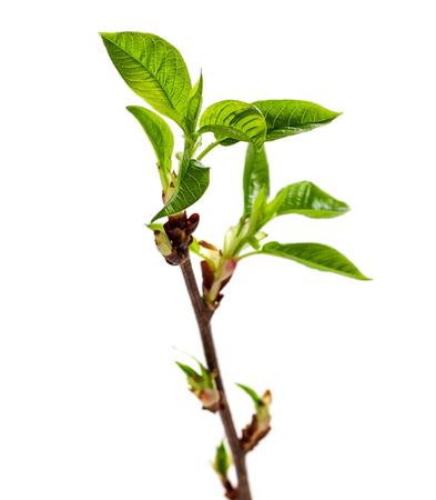 Foto de Growing New leaves is spring season isolated on white - Imagen libre de derechos