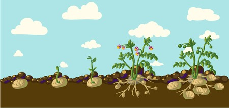 Ilustración de Potato plant - Imagen libre de derechos