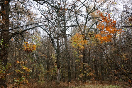 Photo for natural wild deciduous forest in autumn from birch oaks and aspens. Red and yellow leaves on trees, colorful. Sumy region, Ukraine - Royalty Free Image