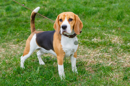 Photo pour dog Beagle breed standing on the green grass - image libre de droit
