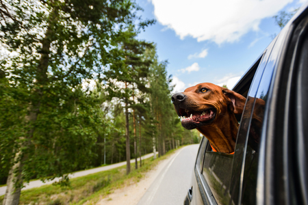 Photo pour Ridgeback dog enjoying ride in car looking out of window - image libre de droit