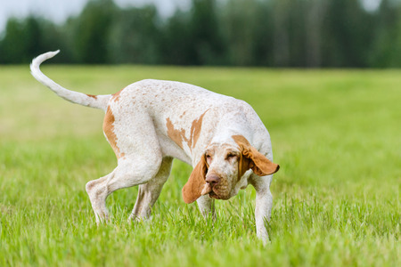 Photo pour Bracco Italiano hunting dog running in the field - image libre de droit