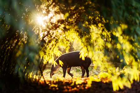 Photo pour Tapir in colourful sun backlight woods in zoo - image libre de droit