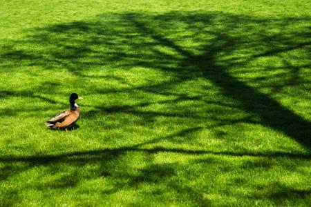 Foto de Portrait of male duck on fresh spring green grass in tree shade - Imagen libre de derechos