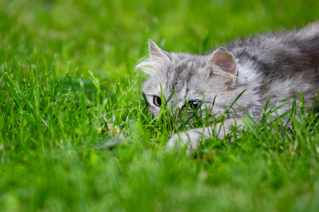 Photo for Cute gray fluffy silly face cat playing in grass chasing toy - Royalty Free Image