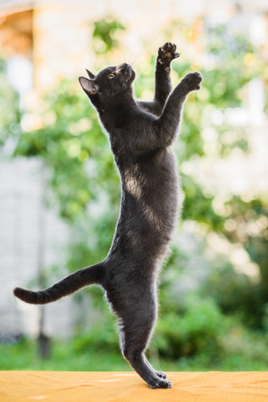 Photo pour graceful gray russian blue cat hunting chasing something, standing on legs, jumping high, profile view - image libre de droit