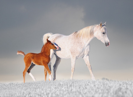 Photo for Arabian horse mare and her young colt running through fresh snow. - Royalty Free Image