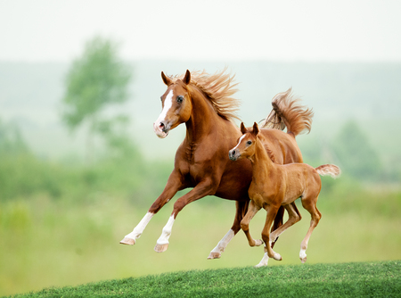 Photo pour Running chestnut horse in meadow. Summer day - image libre de droit