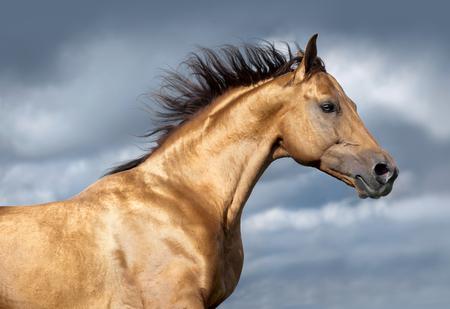 Photo pour golden don horse portrait on stormy skies portrait - image libre de droit