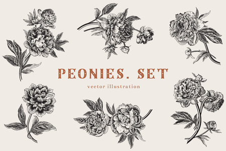 Photo pour Vintage vector illustration. Peonies. Set. - image libre de droit