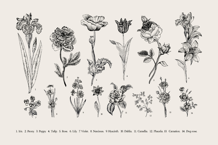 Illustration for Botany. Set. Vintage flowers. Black and white illustration in the style of engravings. - Royalty Free Image