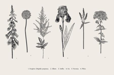 Illustration for Set garden flowers. Classical botanical illustration. Foxglove, Allium, Astilbe, Iris, Veronica, Phlox. Black and white - Royalty Free Image
