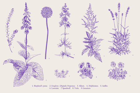 Illustration pour Set garden flowers. Classical botanical illustration. Ultraviolet - image libre de droit