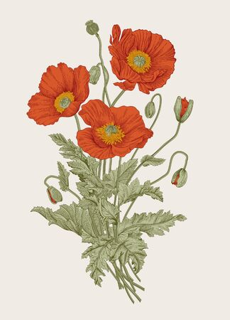 Illustration for Vintage illustration. Bouquet. Red Poppies.  - Royalty Free Image