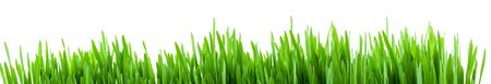 Photo for Green spring grass sprouts isolated on white background, wide panorama format for banner - Royalty Free Image