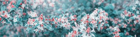 Photo for Beautiful spring natural background. Pink and white flowers with blue and green leaves. Wide panoramic format - Royalty Free Image