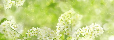 Photo for Spring green nature background with cherry blossoms and blurred bokeh. Wide panorama format for frame - Royalty Free Image