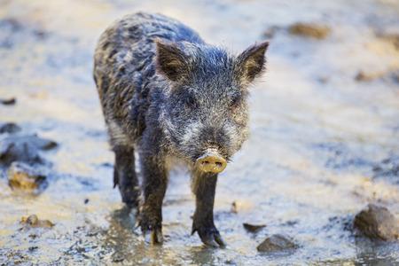 Little funny black wild boar piglet.