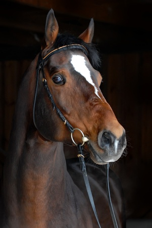 portrait of beautiful horse on dark background