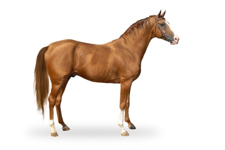 Red warmbllood horse isolated on white  Collage  Illustration