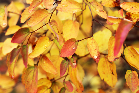 Photo for Beautiful autumn tree with bright leaves, nature - Royalty Free Image