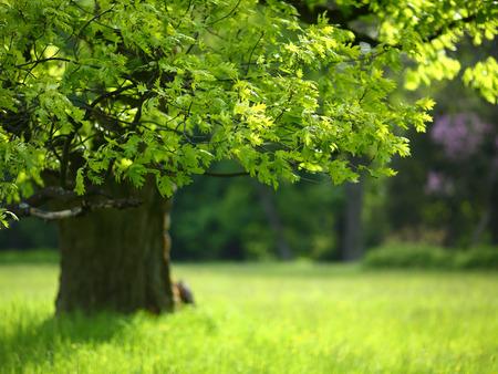 Photo pour Spring oak tree with colorful leaves, nature - image libre de droit
