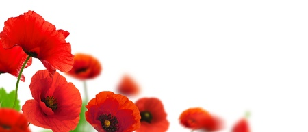 Photo for Red poppies over a white background. Border floral design for an angle of page. Closeup of the flowers with focus and blur effect  - Royalty Free Image
