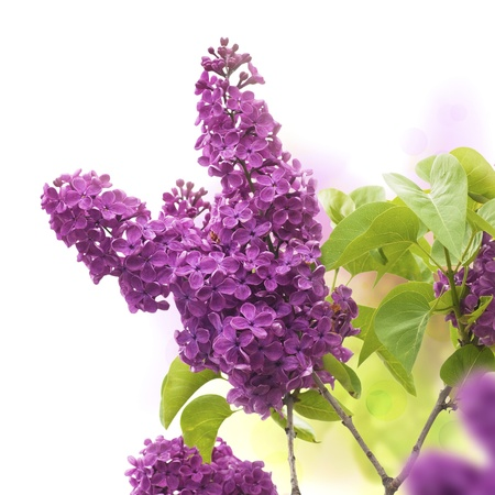 Photo for lilac flowers in spring - border of a page, purple and green colors  - Royalty Free Image