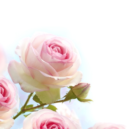 Photo for pink roses background, floral border with gradiant from blue to white dedicated for a romantic or love card, close up of the flowers   - Royalty Free Image