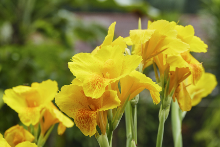 Foto de Beautiful yellow Canna lilly in tropical garden - Imagen libre de derechos